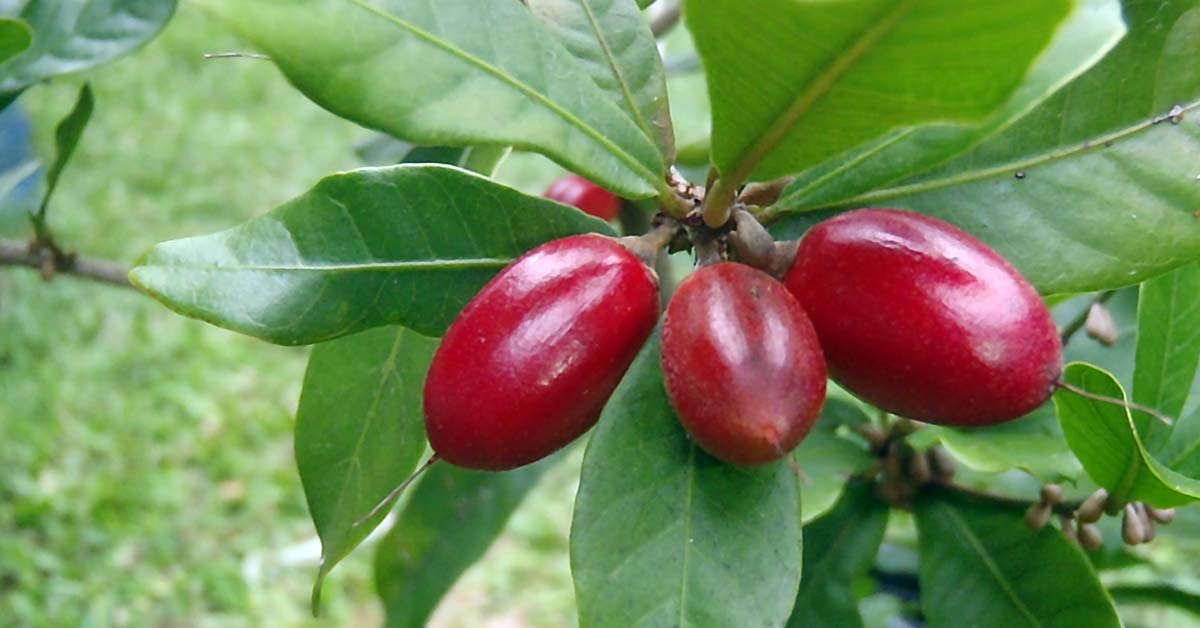 Evaluation of antioxidant properties of Thaumatococcus daniellii seeds